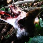 coyote head gore sm